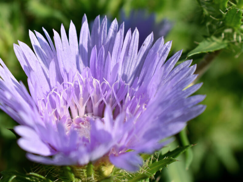 Growing Stokes Aster for Cut Flowers